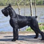Ризеншнауцер щенки чёрного окраса, Стерлитамак